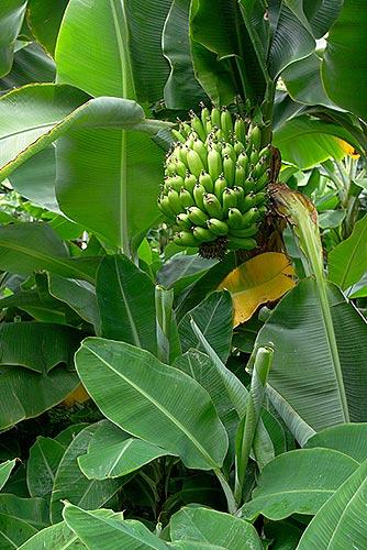 Islandské banány