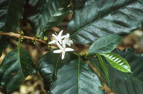 Květ kávovníku