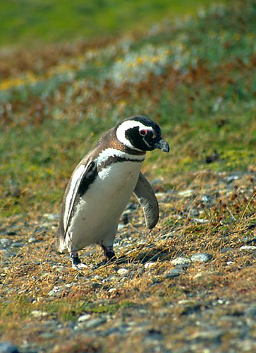 Tučňák magelánský