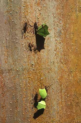 """Mravenci atta - """"střihači"""""""