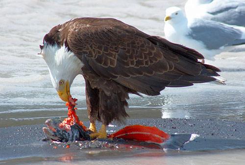 Orel trhá lososa