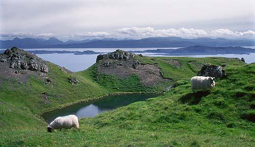 """Ovce pasoucí se na """"šťavnatém ostrově"""" Skye"""