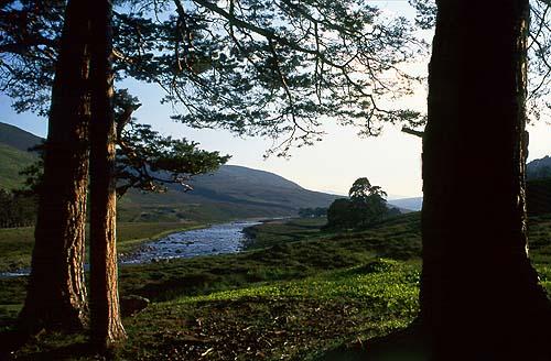 Borovice v údolí říčky Dee v horách Cairngorms