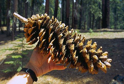Šiška z Obřího lesa