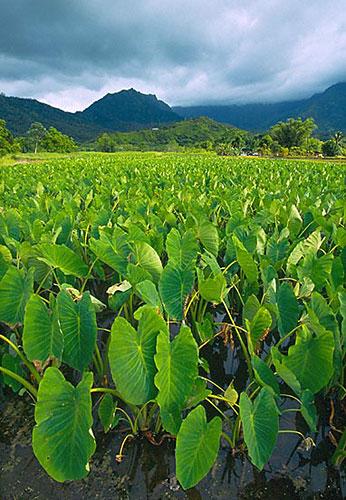 Plantáže tara u Hanalei, ostrov Kauai