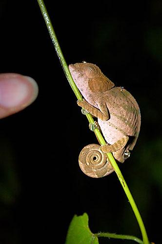 Madagaskar: Spící chameleon