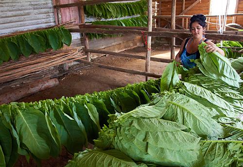Sušení tabákových listů