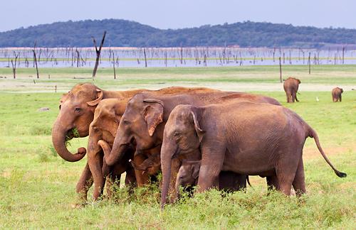 Sloni v národním parku Minnneriya