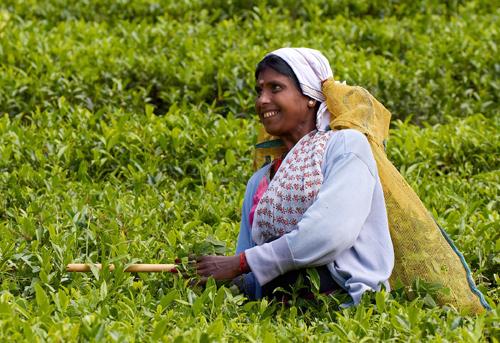 Srí Lanka – sběračka čaje